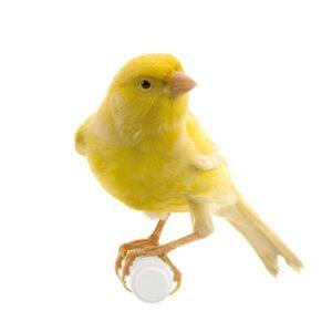 Una specie di canarino canterino