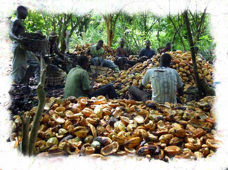 Piantagione di Cacao